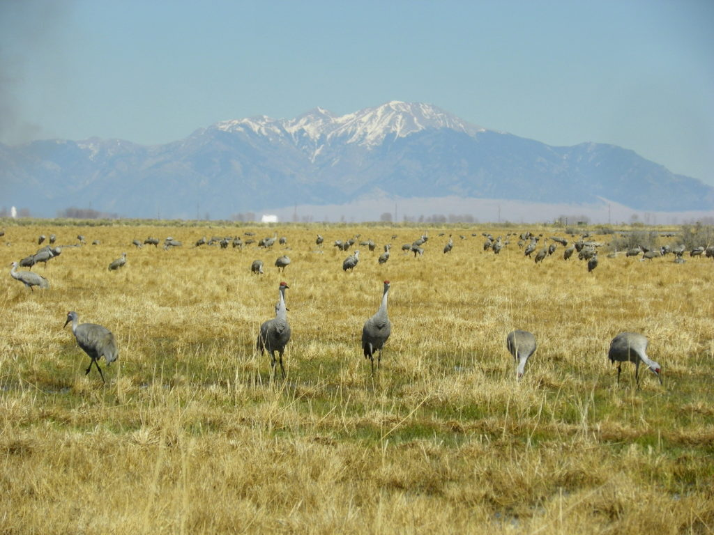 sandhill cranes the art of binge-watching and education